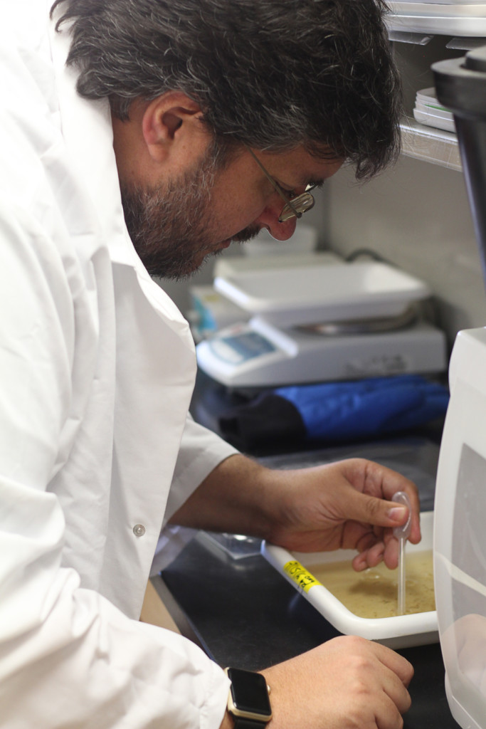 Biology Associate Professor Christopher Vitek extracts mosquito pupae from a dish in the research wing at the Science Building in Edinburg./Gabriel Mata/The Rider